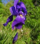 Bleiche Schwertlilie - Iris pallida