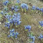 Winteriris - Iris reticulata