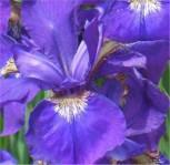 Ostsibirische Schwertlilie - Iris sanguinea - Vorschau