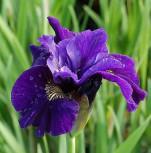 Sibirische Wieseniris Ruffled Velvet - Iris sibirica