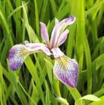 Schwertlilie Versicolor Kermesina - Iris versicolor