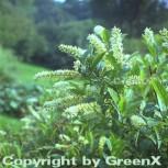 Rosmarinweide 60-80cm - Itea virginica - Vorschau