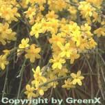 echter Winter Jasmin 80-100cm - Jasminum nudiflorum - Vorschau
