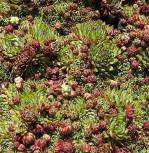 Garten Donarsbart Atropurpurea