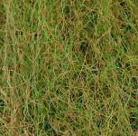 Korkenzieher Binse - Juncus effusus