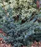 Strauchwacholder Blue Alps 20-30cm - Juniperus chinensis - Vorschau