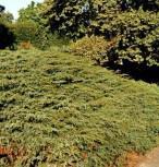 Kriechender Heidewacholder Hornibrook 30-40cm - Juniperus communis Hornibrookii