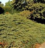 Kriechender Heidewacholder Hornibrook 40-50cm - Juniperus communis Hornibrookii - Vorschau