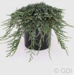 Blauer Kriechwacholder Ice Blue 20-25cm - Juniperus horizontalis