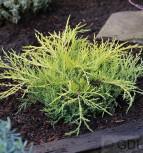 Gelber Strauchwacholder Golden Saucer 10-15cm - Juniperus media