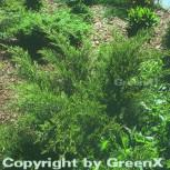 Grüner Strauchwacholder Mint Julep 30-40cm - Juniperus media - Vorschau