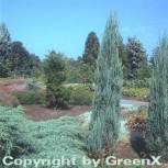 Blauer Raketenwacholder 40-50cm - Juniperus scopulorum - Vorschau