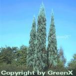 Raketenwacholder Skyrocket 100-125cm - Juniperus scopulorum - Vorschau