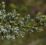 Teppichwacholder Holger 10-15cm - Juniperus squamata
