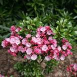 Großer Berglorbeer Little Linda 25-30cm - Kalmia latifolia - Vorschau