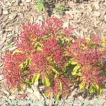 Berglorbeer Ostbo Red 30-40cm - Kalmia latifolia - Vorschau