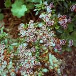 Großer Berglorbeer Ginkona 40-50cm - Kalmia latifolia