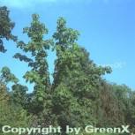 Baum Kraftwurz 60-80cm - Kalopanax septemlobus