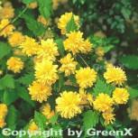 Ranunkelstrauch 40-60cm - Kerria japonica