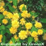 Ranunkelstrauch 80-100cm - Kerria japonica - Vorschau