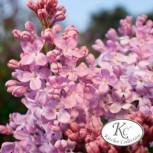Edelflieder Lavender Lady - Kircher-Collection 60-80cm - Syringa hyacinthiflora - Vorschau