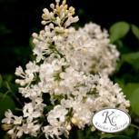 Edelflieder Schneeweißchen - Kircher-Collection 30-40cm - Syringa hyacinthiflora - Vorschau