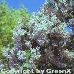 Perlmuttstrauch Kolkwitzie 80-100cm - Kolkwitzia amabilis - Vorschau