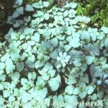 Waldnessel White Nancy - Lamium maculatum