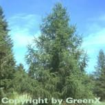 Europäische Lärche 125-150cm - Larix decidua