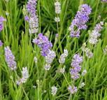 Echter Lavendel Blue Cushion - Lavandula angustifolia