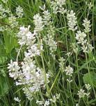 Echter Lavendel Edelweiß - Lavandula angustifolia
