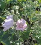 Buschmalve - Lavatera thuringiaca