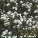 Sumpfporst 15-20cm - Ledum palustre - Vorschau