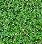 Fiederpolster Minima - Leptinella dioica
