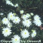 Gartenmargerite Wirral Supreme - Leucanthemum - Vorschau