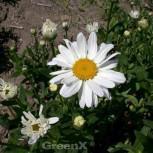 Gartenmargerite Starburst - Leucanthemum superbum