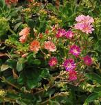 Bitterwurz Regenbogen - Lewisia cotyledon
