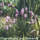 Prachtscharte Kobold - Liatris spicata - Vorschau