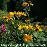 Goldgelbes Kreuzkraut - Ligularia palmatiloba