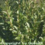 Ovalblättrige Liguster 80-100cm - Ligustrum ovalifolium