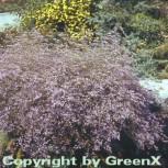 Meerlavendel Blauschleier - Limonium latifolium - Vorschau