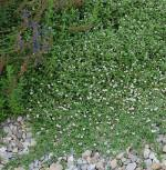 Teppich Verbene - Lippia nodiflora - Vorschau