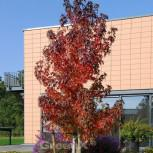 Säulen Amberbaum Stella 60-80cm - Liquidambar styraciflua
