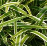 Lilientraube Variegata - Liriope muscaria