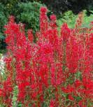 Kardinalslobelie - Lobelia cardinalis - Vorschau