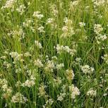 weißliche Hainsimse - Luzula luzuloides