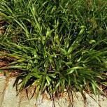 Waldmarbel Auslese - Luzula sylvatica