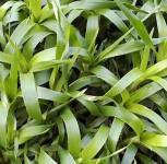 Waldmarbel Farnfreund - Luzula sylvatica