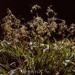 Waldmarbel Sherwood - großer Topf - Luzula sylvatica