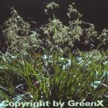 Waldmarbel - Luzula sylvatica